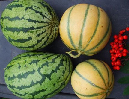 Cantaloupe and watermelon are oozing with nutrient rich goodness. Ted writes a poem, gives a cantaloupe pie filling recipe and surprise, surprise! Melons can be dehydrated, but it takes time. (Ted Meseyton/Submitted Photo)