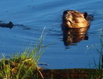 A beaver swims in a body of water. MAX MAUDIE/EDMONTON SUN