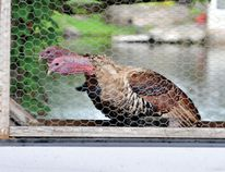 Turkeys 'look forward' while being transported to the Lyndhurst Turkey Fair in this 2013 file photo. The 2014 edition of the event runs this weekend. (Recorder and Times file photo)