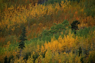 Photos of the week - Varying colours of aspen, poplar, spruce and Douglas fir on a hillside along the Elbow River west of Bragg Creek, Alta., on Wednesday September 24, 2014. Mike Drew/Calgary Sun/QMI Agency