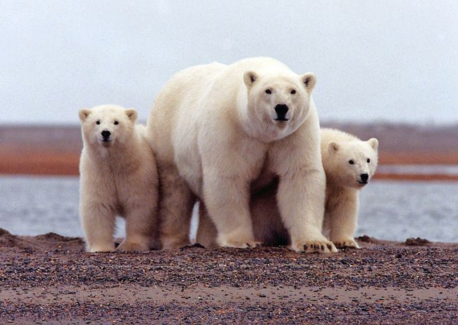 A polar bear keeps close to her young along the Beaufort Sea coast in Arctic National Wildlife Refuge, Alaska in a March 6, 2007 file photo. (REUTERS/Susanne Miller/USFWS/handout)
