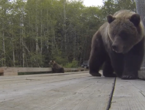 Grizzly bear captured with GoPro camera
