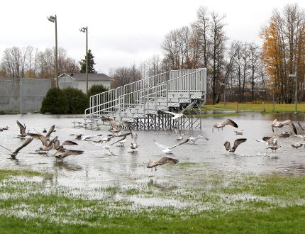 Flooding from the Mattagami River has transformed Mountjoy Historical Conservation Area into a playground for seagulls and other waterfowl. With drier weather conditions being forecast over the next few days, there is hope that the current flood warning status may soon be downgraded.