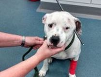 Ziggy, a Staffordshire bull terrier, was found in a wooded area in Peterborough, England, on Wednesday, Oct. 22, 2014, with a bolt from a crossbow through its head. The dog survived, although RSPCA officials said there is still a risk of infection after the bolt was removed. (Photo: RSPCA/Handout/QMI Agency)