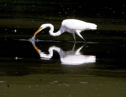 A white egret is reflected in the waters of the Coves as it feasts on bugs on the surface. (Free Press file)