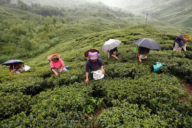Labourers pluck tea leaves at a tea plantation in Shipaidura village, about 40 km (25 miles) north of the northeastern hill resort of Darjeeling, in this June 23, 2008 file photo. Darjeeling, for many people, means tea, but the eponymous hill resort nestled in the Himalayas in India's northeast is also a gateway to spectacular views of the world's third highest peak as well as a rare glimpse of snow leopards and red pandas. REUTERS/Rupak De Chowdhuri/Files