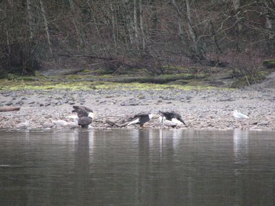 In Brackendale, B.C., winter is a time for eagle viewing. A float down the river with Sunwolf reveals the magnificent birds are everywhere -- in trees, on the shore, perched on logs, etc. JANE STEVENSON/QMI AGENCY