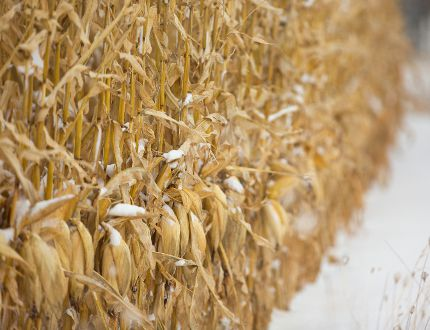 A cornfield full of snow. Mike Hensen/The London Free Press
