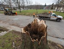 <p>A County of Brant crew cleans up debris Tuesday morning, November 25, 2014 after a huge tree was snapped off in Monday's high winds on Charlotte Street in Paris, Ontario.</p><p>Brian Thompson/Brantford Expositor/QMI Agency