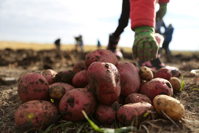 A student adds a potato to a pile while Nose Creek Elementary School Grade 4 students, teachers and parent volunteers dig up two acres of potatoes at the Dixon Farm northeast of Airdrie on Friday, Oct. 3, 2014.  (BRITTON LEDINGHAM/QMI AGENCY)