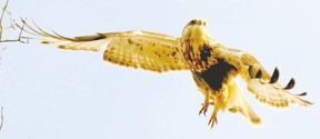 Birders? raptor sightings are often dramatic and memorable. The rough-legged hawk is a seasonal highlight spotted during London?s Christmas Bird Count last weekend.  Like red-tailed hawks, rough-legged hawks are buteos. (MICH MacDOUGALL, CAPA/SPECIAL TO QMI AGENCY)