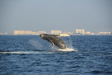 Banderas Bay is a great place to spot whales and dolphins. (Vallarta Adventures)