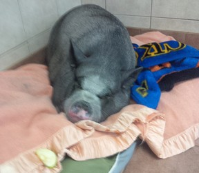 Jack Frost, a pot-bellied pig, was found abandoned and in poor health at the Children's Animal Farm earlier this week. The Sarnia and District Humane Society is searching for the person responsible. (Submitted photo)
