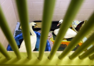 A couple of mute swans at the Toronto Wildlife Centre in Toronto on Monday December 15, 2014. Dave Abel/Toronto Sun/QMI Agency