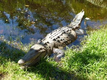 A saltwater crocodile at the Ventanilla eco-toursim centre in Oaxaca, where visitors can take a ride up the lagoon to see crocs and other wildlife. ROBIN ROBINSON/TORONTO SUN