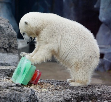 Humphrey receives an early birthday cake and plays with his toys on Thursday, Nov. 6, 2014 at the Polar Bear Exhibit, Toronto Zoo. The bear's actual first birthday is on Sunday, November 9, between 10am-2pm, where guests can join in on the party with a birthday cupcake, make a birthday card and listen to a special keeper talk. Veronica Henri/Toronto Sun/QMI Agency