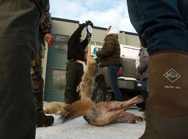 The five coyotes killed during the third-annual Whack 'Em and Stack 'Em Coyote Derby are weighed outside of Primetime Hunting and Fishing in Grande Prairie, Jan. 31. Tom Bateman/Daily Herald-Tribune