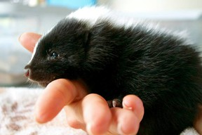 Photo of baby skunk provided by Alberta Institute for Wildlife Conservation