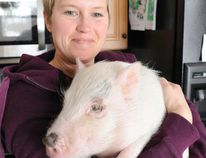 Kara Burrow, who operates Ralphy's Retreat animal sanctuary outside St. Williams, holds Franklin the pig, which was rescued from the Waterford area earlier this month. The sanctuary has 24 pot-bellied pigs in care. Numbers are growing as pet owners abandoned the animals. DANIEL R. PEARCE/SIMCOE REFORMER