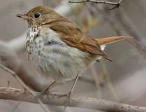 A Hermit Thrush (Photo by Matt MacGillivray)