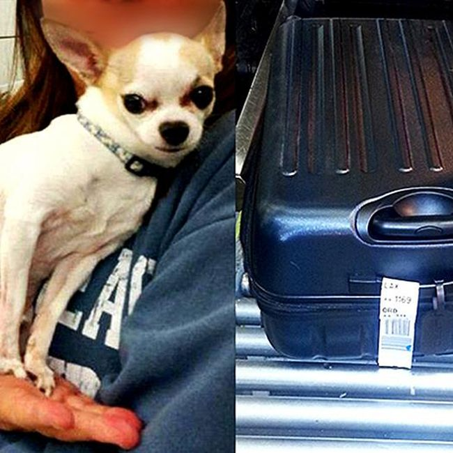 The Transportation Security Administration tweeted this photo of a stowaway Chihuahua in a the luggage. (TSA/Twitter)