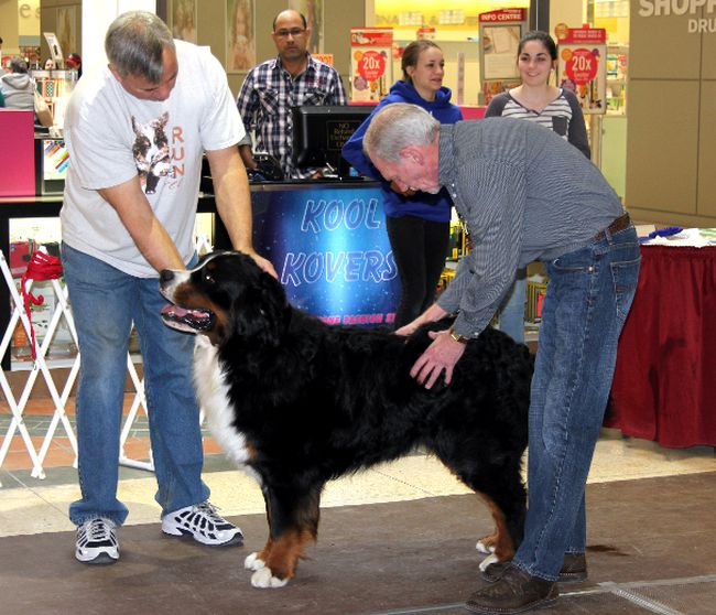 <p>Leonard O'Brien with Bentley, a Burmese Mountain dog, being judged at the dog show held at Cornwall Square on Saturday, March 14, 2015. The show was put on by the Cornwall and District Kennel Club to bring awareness to their club and to let people know what programs they offer.</p><p>LOIS ANN BAKER/CORNWALL STANDARD-FREEHOLDER/QMI AGENCY