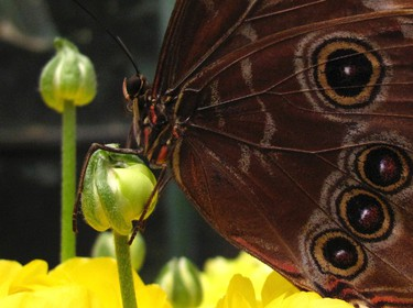 A common blue morpho butterfly lands on a flower as it and hundreds of other butterflies from around the world fill the bird aviary for the next month at the San Diego Zoo Safari Park in San Diego, California March 13, 2015. Called the Butterfly Jungle, the exhibit  has over 30 species of butterflies. REUTERS/Mike Blake