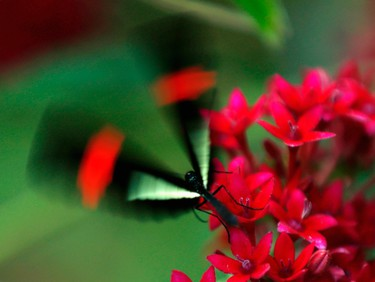 A postman butterfly leaves a flower as it and hundreds of other butterflies from around the world fill the bird aviary for the next month at the San Diego Zoo Safari Park in San Diego, California March 13, 2015. Called the Butterfly Jungle, the exhibit has over 30 species of butterflies.   REUTERS/Mike Blake