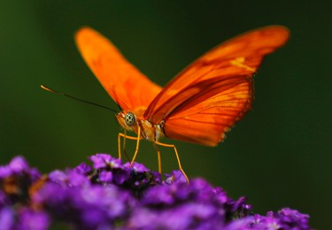 An Orange Julia butterfly lands on a flower as it and hundreds of other butterflies from around the world fill the bird aviary for the next month at the San Diego Zoo Safari Park in San Diego, California March 13, 2015. Called the Butterfly Jungle, the exhibit  has over 30 species of butterflies.   REUTERS/Mike Blake