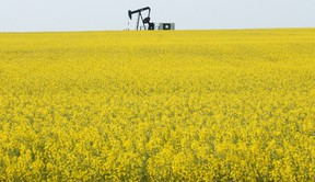 A pump jack works in a field near Lake Saskatoon surrounded by a blooming canola field. (FILE PHOTO)