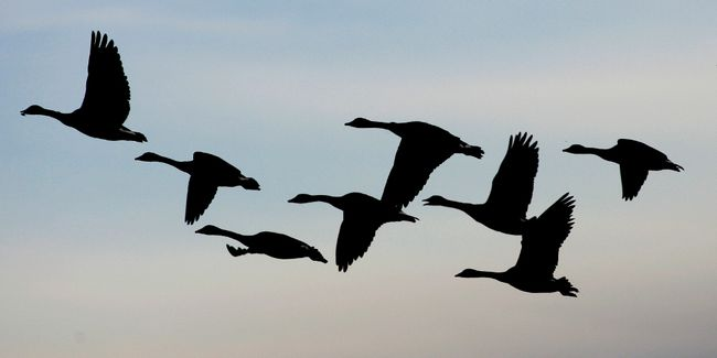 Canada geese take off from a farmers field near Oak Hammock, Manitoba, in this file photo taken October 8, 2004.  The U.S. Department of Agriculture is leading an epidemiological investigation to determine how the avian flu virus reached Arkansas, in the heart of the U.S. poultry producing region. Officials say wild birds likely carried the virus as they flew south on a migratory route along the Mississippi River. However, wildlife experts question the explanation, saying it would be highly unusual for birds to fly south from the north in March. REUTERS/Shaun Best/Files