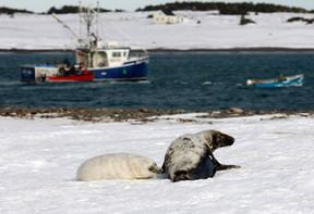 A grey seal mother and pup lie on the snow as sealing boats arrive during the first day of the hunt on Hay Island, Nova Scotia, February 24, 2011. Grey seals are not allowed to be hunted until they shed their white coat. REUTERS/Paul Darrow