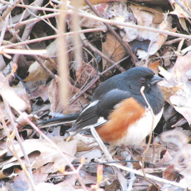Eastern towhees are among the many early spring species at Rondeau Provincial Park now. Kinglets, which seem like perpetual motion machines, can also be seen all through the park. (PAUL NICHOLSON, SPECIAL TO QMI AGENCY)