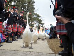 Swans make their way toward the Avon River during the annual swan parade witnessed by thousands in Stratford last spring. The swans will be returning to the city's river this Sunday in a formal ceremony that is expected to attract thousands of spectators. (QMI Agency file photo)