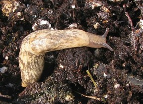 Neonicotinoid insecticides can collect in the bodies of slugs with no ill effect for the mollusks.