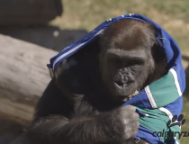 Gorilla with Canucks jersey