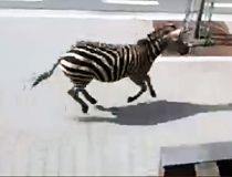 Escaped zebras run wild all over Brussels