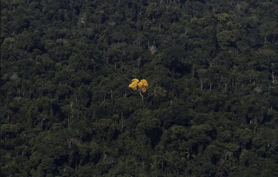 An ipe (lapacho) tree is seen in this aerial view of the Amazon rainforest near the city of Novo Progresso, Para State, Brazil. (REUTERS/Nacho Doce)