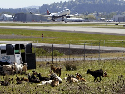 A plane takes off as a herd of goats rests at the Portland International Airport in Portland, Oregon April 17, 2015. In a city that loves its goats, the Portland International Airport now has a temporary herd. Forty goats and a llama started munching this week on invasive plants such as blackberries, thistle and Scotch broom near the PDX airfield. The llama's job is to keep away predators like coyotes. REUTERS/Steve Dipaola
