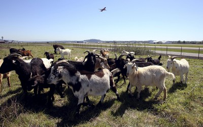 A plane takes off as a herd of goats grazes at the Portland International Airport in Portland, Oregon April 17, 2015. In a city that loves its goats, the Portland International Airport now has a temporary herd. Forty goats and a llama started munching this week on invasive plants such as blackberries, thistle and Scotch broom near the PDX airfield. The llama's job is to keep away predators like coyotes. REUTERS/Steve Dipaola