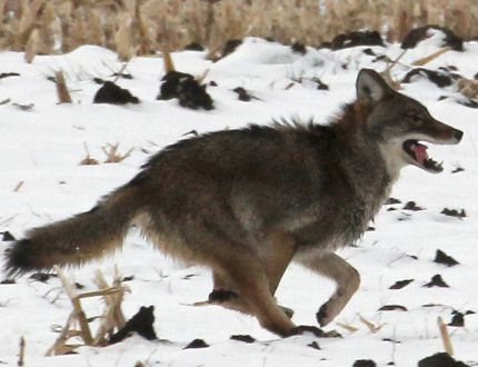A coyote on the run. FILE PHOTO