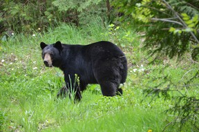 A bear is spotted near an abandoned house near a pedestrian stairway up the ridge along 8th St. A. E. Police were advising people of the animal and asking them to stay away from it. (Rob Gowan The Sun Times)