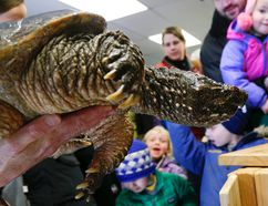 Ambassador Paddy, a 32-year-old snapping turtle on view for visitors during an open house at Kawartha Turtle Trauma Centre (KTTC) in Peterborough in March 2015. (Clifford Skarstedt/Peterborough Examiner/Postmedia Network)