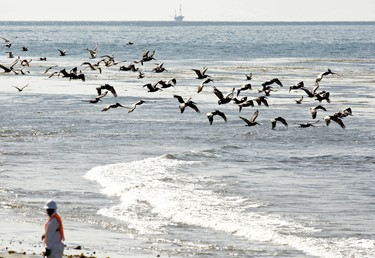 Pelicans fly near a crew member at Refugio State Beach after a massive oil spill on the California coast in Goleta, California May 22, 2015.  REUTERS/Jonathan Alcorn