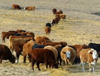 Cattle graze in a pasture in the foothills of the Rocky Mountains west of Calgary, Alberta. Postmedia file photo.