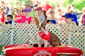 """""""Let's go,"""" says Ultimutts' Pickles, a red Boston terrier. (Handout - Ultimutts Stunt Dog Show)"""