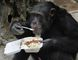 A chimpanzee eats its lunch using a spoon at Villa Lorena animal refugee center in Cali, in this file photo taken October 20, 2009.    REUTERS/Jaime Saldarriaga/Files
