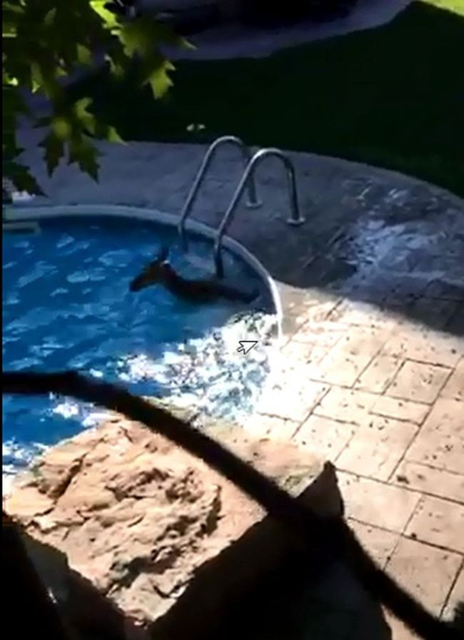 A stray deer is pictured in a Whitby backyard pool on Tuesday, June 2, 2015. (Durham Regional Police)
