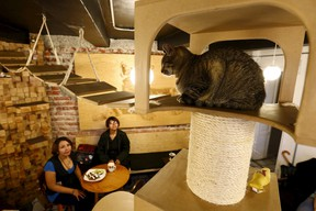 Customers look at a cat inside La Gateria restaurant in Mexico City June 4, 2015. La Gateria is a vegetarian restaurant where diners can play and interact with cats.  REUTERS/Edgard Garrido