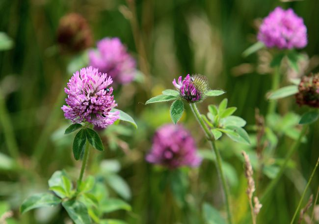 Clover is said to be good for blood issues and for those with diabetes. The whole plant can be used to create medicine. Delaware Nation of Moraviantown, Ont. on Sunday June 21, 2015. Diana Martin/Chatham Daily News/Postmedia Network
